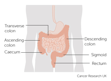 Diagram of the bowel