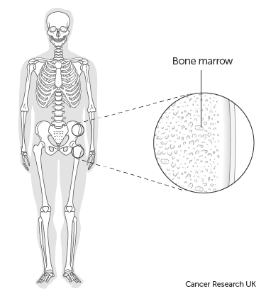 Diagram of bone marrow