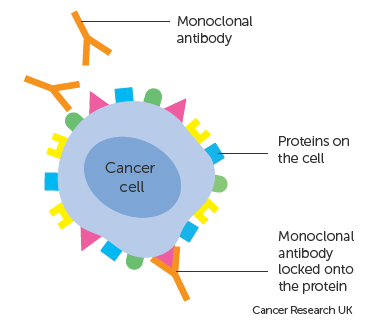 Diagram showing a monoclonal antibody attached to a cancer cell