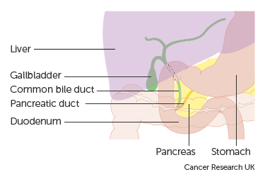 Diagram showing the anatomy of the gallbladder