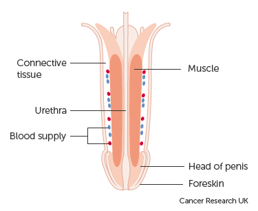 Diagram showing the anatomy of the penis