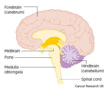 Diagram showing the brain stem which includes the medulla oblongata, the pons and the midbrain