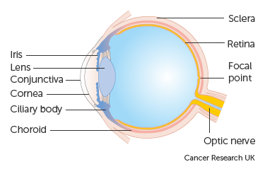 Diagram showing the different parts of the eye