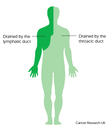 Diagram showing the parts of the body the lymphatic and thoracic ducts drain