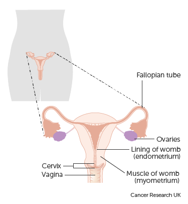 Diagram showing the parts of the female reproductive system