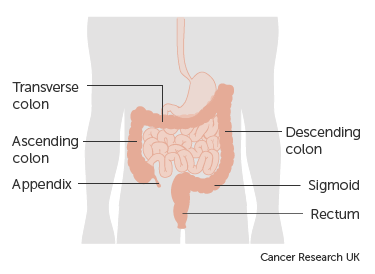 Diagram showing the parts of the large bowel