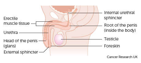 Diagram showing the parts of the penis