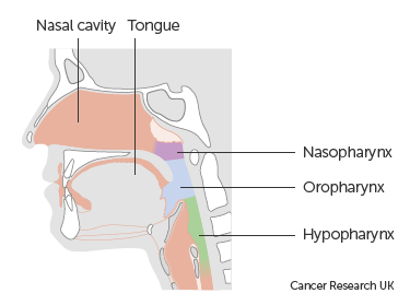 Diagram showing the position of the nasal cavity