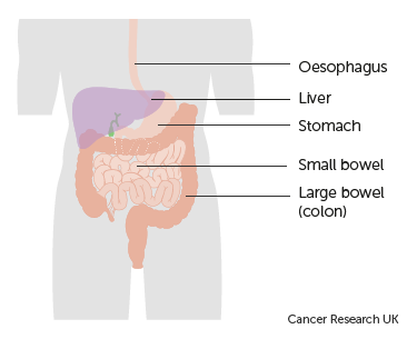 Diagram showing the position of the small bowel in the digestive system