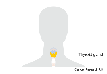 Diagram showing the position of the thyroid gland