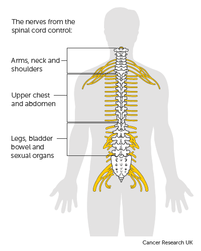 Diagram of the spinal cord