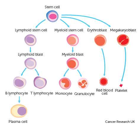 Diagram showing the cell in the line plasma cells come from .jpg